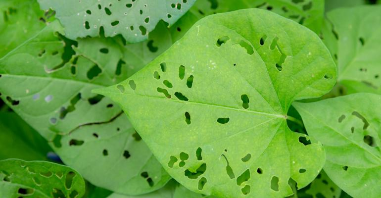Green leaves with holes eaten in them by bugs