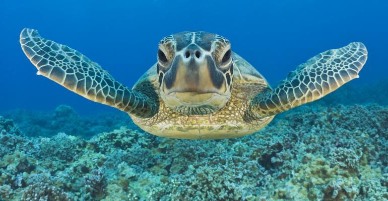 Green Turtle, Chelonia mydas, Maui, Hawaii