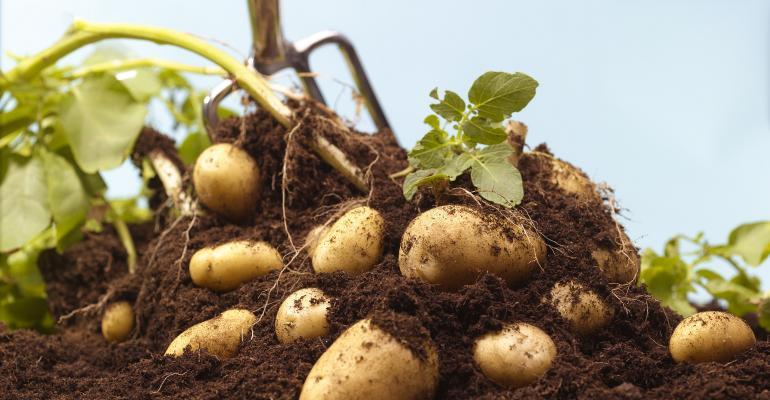 Digging up organic potatoes