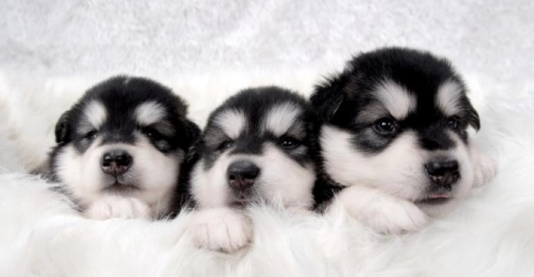 Three puppies in a blanket with only thier heads showing