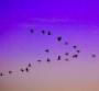 Birds migrating in V