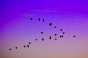 Birds migrating in V