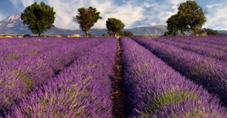 rows of lavender leading to trees