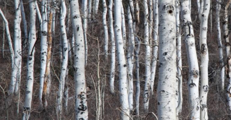 small forest of white aspen trunks